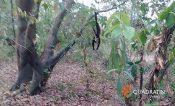 Por sequía, mueren monos aulladores en el sur de Veracruz
